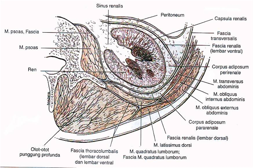 restabilirea funcției de erecție