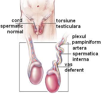 testicule căzute în timpul unei erecții)