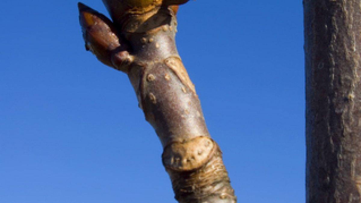 penisul când este erect nu crește