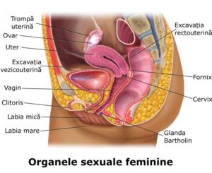 Aparatul genital masculin - Wikipedia