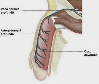 penisului și alungirea acestuia