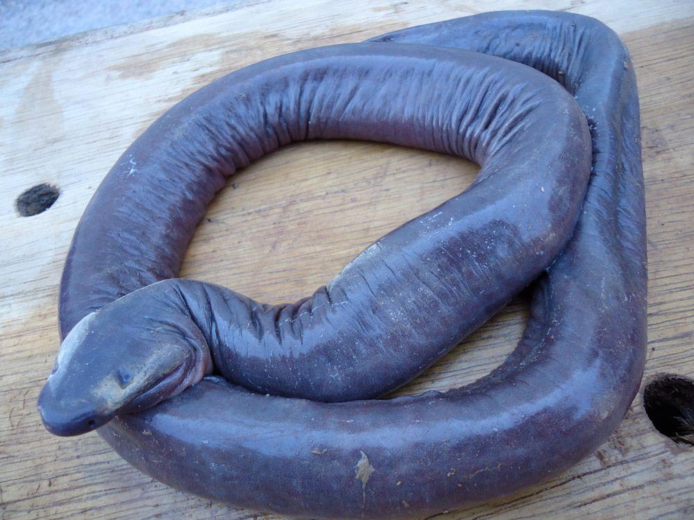Cum arata sarpele-penis, descoperit in Brazilia – FOTO