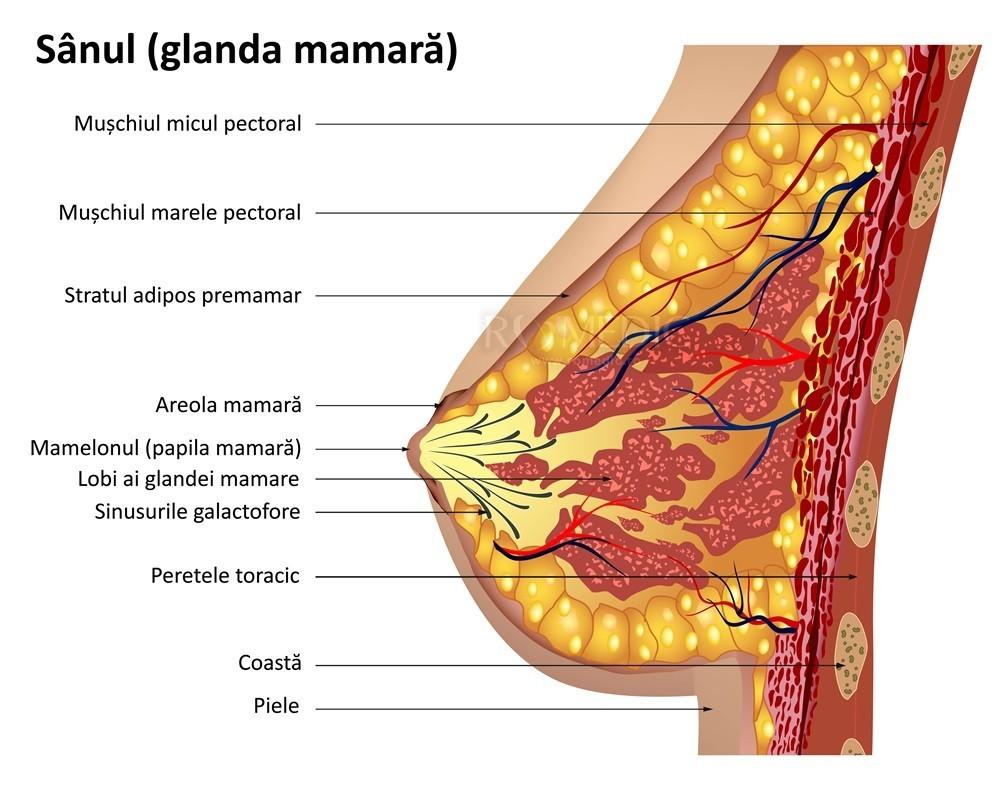 când apare erecția mamelonului