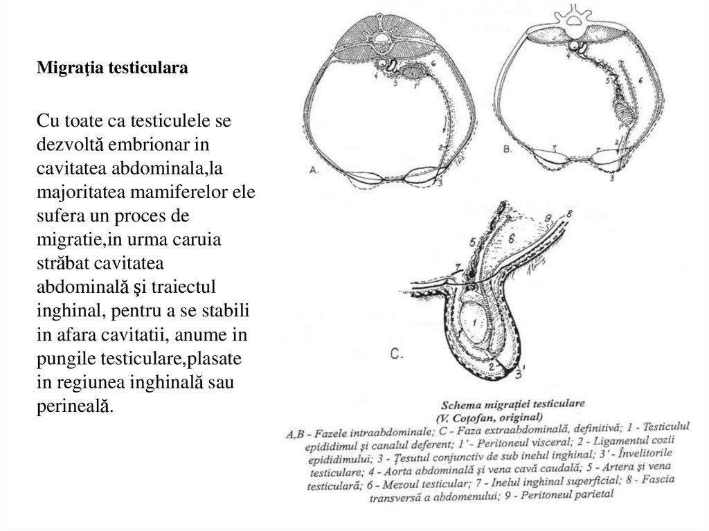 Secreție roșiatică la nivelul penisului (hematospermia)