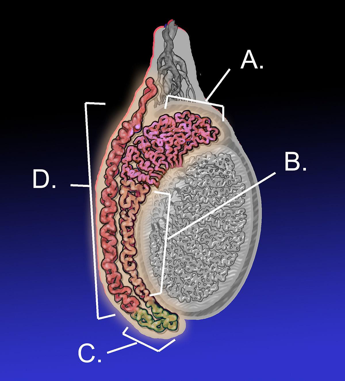 Daca penisul are 12 cm lungime si cm circumferinţă este mic? | Forumul Medical ROmedic