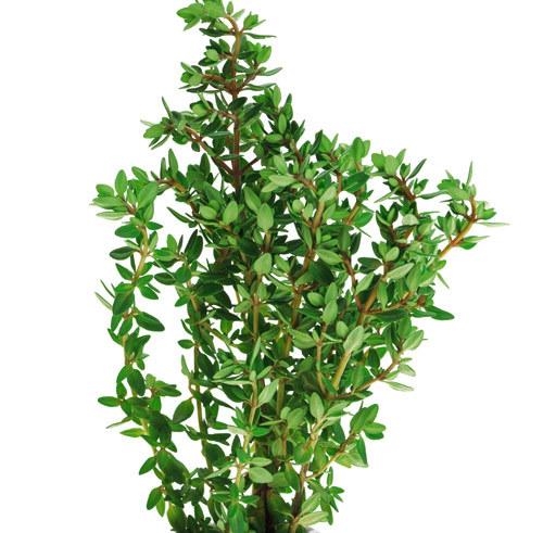 cimbru de plante și erecție)
