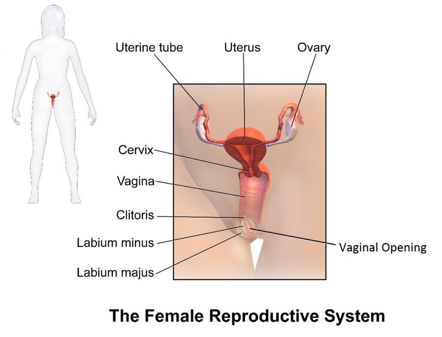 Organul sexual feminin, l-ai văzut?