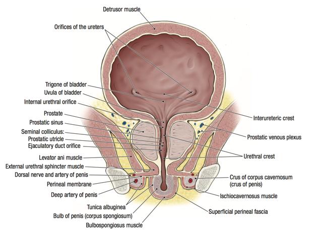 penis interior mărirea penisului și