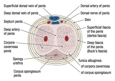 penis interior