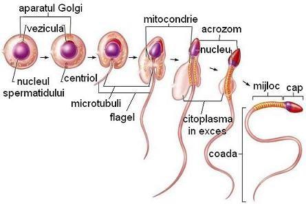 penisul masculin și tipurile acestuia)