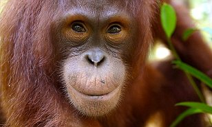 penisuri de orangutan)