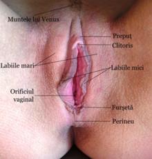 organele genitale feminine penetrarea penisului