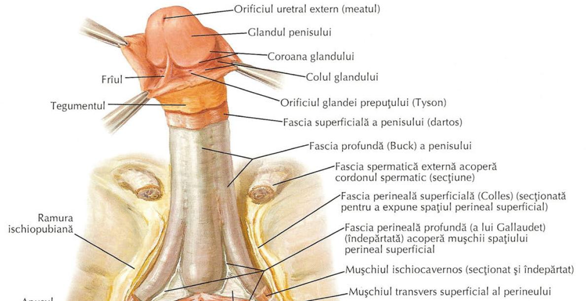Penisul normal vs penisul anormal - dimensiuni, caracteristici, limite