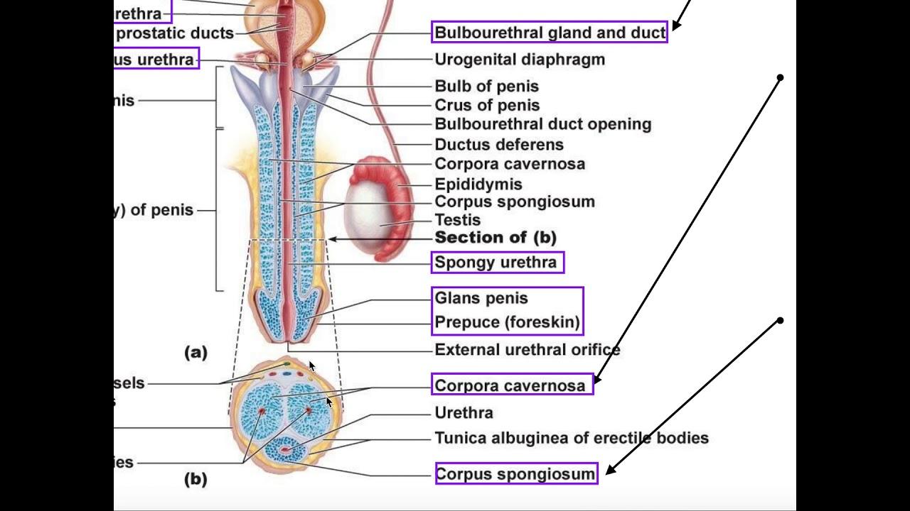 structura penisului felin)