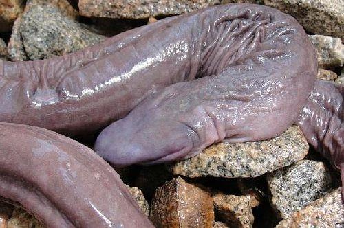 șarpe penis)