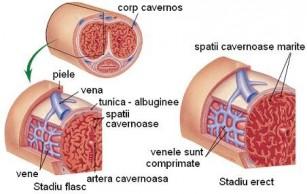 apariția penisului în timpul erecției)