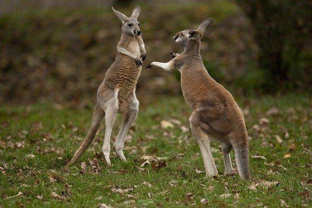 Habitat cangur. Unde trăiesc cangurii, ce mănâncă și cum se reproduc? Cangurul estic gri