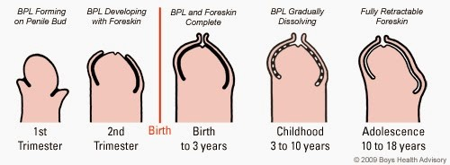 totul despre dezvoltarea penisului