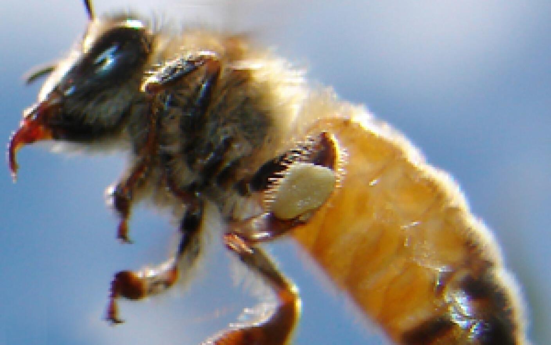 cum să vă măriți penisul cu albine
