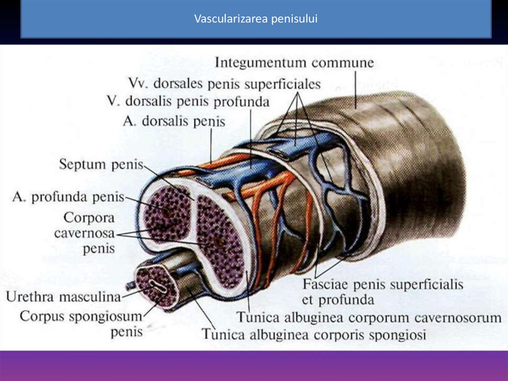 erecția strică ablația ce face rău un penis