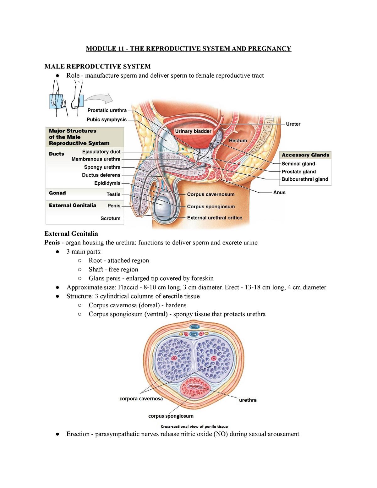 lung penis cm
