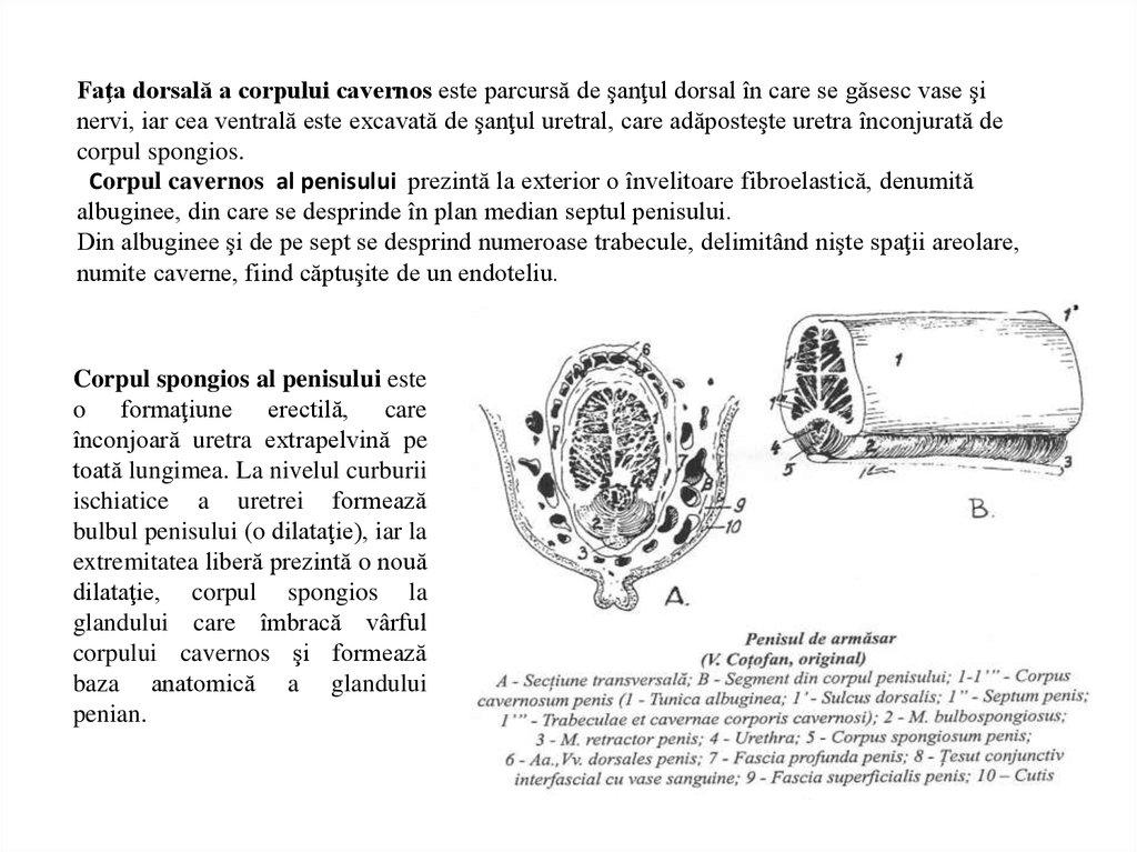 lungimea penisului armăsarului