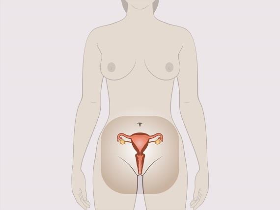 organele genitale feminine penetrarea penisului)