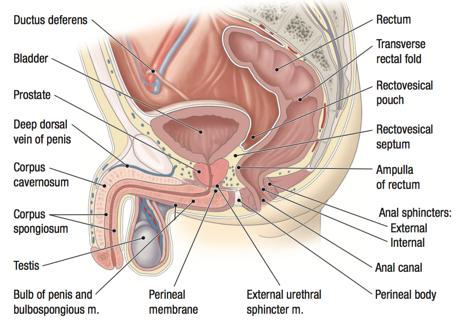 penis cum să inducă o erecție creșterea erecției în potență