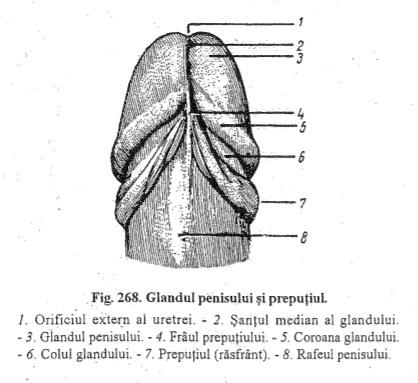 structura penisului în anatomie)